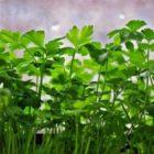 Огород на подоконнике — выгонка зелени петрушки и сельдерея