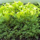 Огород на подоконнике — подготовка к посеву растений