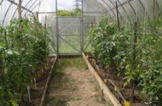 Формирование томатов — пасынкование, подвязка, прищипка