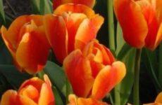 Выгонка тюльпанов.