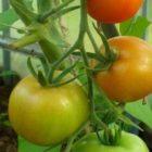 Выращивание томатов в теплице — подготовка почвы, высадка рассады