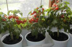 Огород на подоконнике — выращивание томата черри