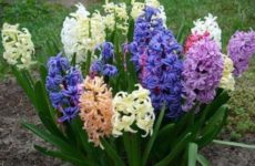 Гиацинт — цветок дождей.