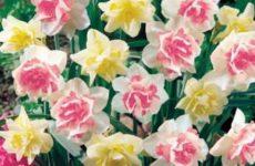 Нарциссы — выращивание и уход.