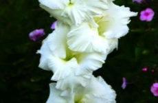 Сорта гладиолусов — белые, зеленые, желтые и оранжевые