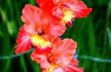 Сорта гладиолусов | лососевые, лососево — розовые, красные