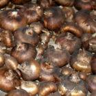 Выращивание гладиолусов | способы размножения