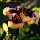 Некоторые популярные сорта лилейников