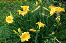Лилейники – богатая палитра красок и форм