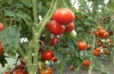 Выращивание томатов в теплице — температурный режим, подкормки, полив