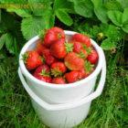 Садовая земляника – желанное сокровище наших садов