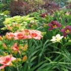 Как добиться обильного цветения лилейников