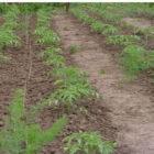 Простые решения проблем при выращивании томатов в открытом грунте