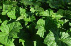 Полезные советы по выращиванию огурцов в открытом грунте – часть 1