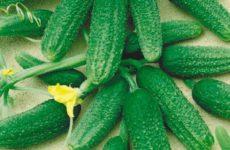 Самые популярные сорта и гибриды огурцов для теплиц
