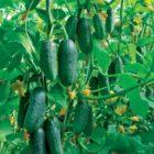 Выращивание огурцов – подготовка почвы, нормы внесения удобрений