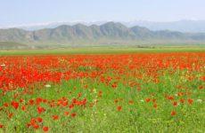 Тюльпаны – общая характеристика культуры