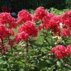 Флоксы многолетние – краса садов и палисадников