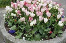 Выращивание тюльпанов — выбор места и подготовка почвы