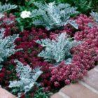 Алиссум — очаровательное украшение сада