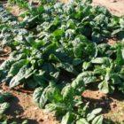 Выращивание витаминного чемпиона — шпината