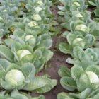Выбор сорта капусты, предпосевная подготовка семян