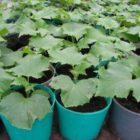 Рекомендации по выращиванию рассады огурцов