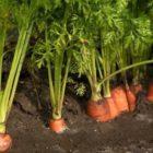 Морковь – общая характеристика, биологические особенности, выращивание