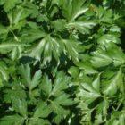 Петрушка – общая характеристика, биологические особенности, выращивание