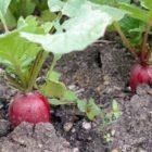 Редис – общая характеристика, ботаническое описание, биологические особенности
