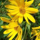 Топинамбур – общая характеристика, ботаническое описание, биологические особенности, сорта