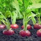 Полезные рекомендации по выращиванию редиса