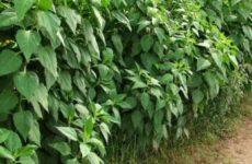 Топинамбур – подготовка почвы, клубней, агротехника и  хранение