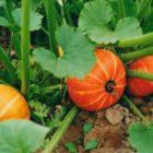 Мой опыт выращивания тыквы. Разбор ошибок.
