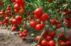 Девять секретов повышения урожайности томатов