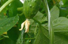 Что нужно огурцу, чтобы на растении формировались кондиционные плоды