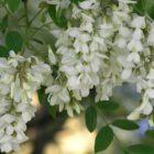 Белая акация – покупка посадочного материала, посадка, уход и размножение
