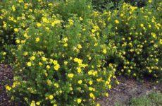Как вырастить на дачном участке лапчатку кустарниковую
