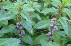 Выращиваем лекарственные растения на оригинальной грядке