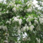 Белоснежка из Америки – ботаническое описание, биологические особенности, формы и сорта