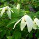 Княжик сибирский – описание, сорта, выращивание и размножение