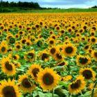 Подсолнечник – общая характеристика, ботаническое описание, сорта