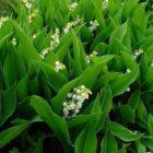 Ландыши – посадка, уход, размножение и защита от вредителей и болезней