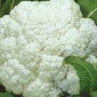 Самые популярные сорта и гибриды цветной капусты