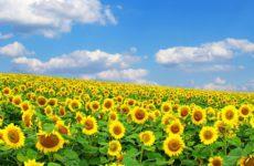 Вот основные приемы, которые помогут вырастить урожайный подсолнечник