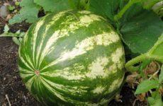 Арбузы – общая характеристика, ботаническое описание, биологические особенности, сорта