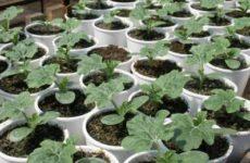 Узнайте, как вырастить качественную рассаду арбузов