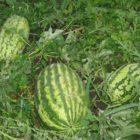 Меры по защите арбузов от болезней и вредителей