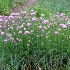 Шнитт-лук – общая характеристика, биологические особенности, выращивание, сорта