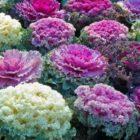 За что цветоводы ценят капусту декоративную